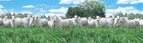 Sementes Para Pastagem Brachiaria Marandú (Braquiarão)