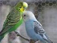 Casais Formados Periquito australiano e Gaiolas