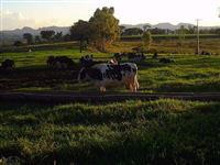 Vacas Leiteiras de Ótima Qualidade!