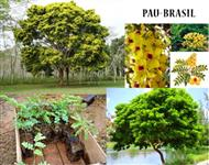 MUDAS DE PAU BRASIL
