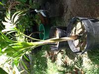 Palmeiras Veitchia mirrelli