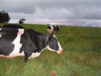 Vacas leiteiras jersolando e holandesas