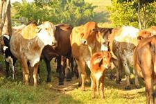 Lote vacas. bezerras e novilhas