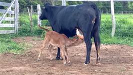 Venda Permanente de Vacas e Novilhas Girolando 3/4, 7/8 e Jersey