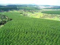 Compro Eucalipto, Mogno Africano, Teca, Pinus e qualquer espécie comercial