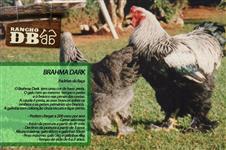 Pintinhos / Frangos - Galinhas Ornamentais Brahma