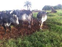 Novilhas e Vacas leiteiras