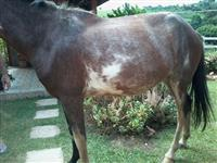 Paint Horse / Pampa Marchador
