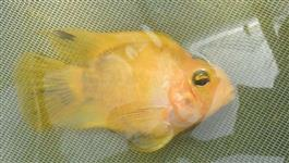 Peixes Ornamentais e Alevinos