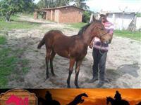 Cavalo, potro de  6 meses