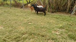 Ovelhas santa ines filhas de carneiro registrado