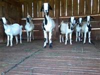 Ocasião lote de cabras mestiça leiteiras