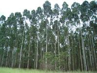 EUCALIPTO PARA LENHA (PLANTAÇÃO 1000M2)
