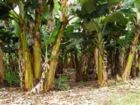 Vende-se Sitio de Banana produzindo 14 alqueires