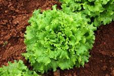 Venda de verdura direto do produtor
