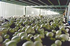 Sócio No Ramo de Produção Cogumelos
