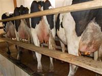 Oportunidade vacas holandesas PO e PC