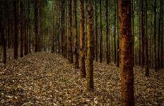 Floresta de eucalípto Sul de Minas (Cambui) com 6 anos GG100