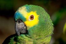 venda de filhote de papagaio-urgente