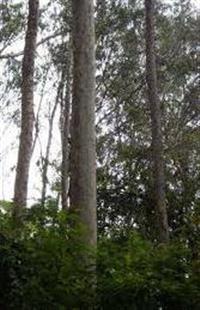 Vendo Floresta de Eucaliptos em SC