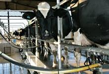 Procuro sitio para arrendar para trabalhar com vacas de leite