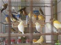 lindos canarios