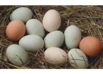 Ovos de galinha índio gigante