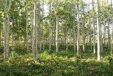 Arvores de Cedro Australiano
