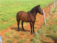 Cavalo Meio Sangue Quarto de Milha
