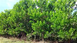 Floresta de Acacia Mangium