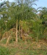 Vendo Planta��o de Gueroba