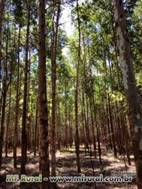 Vendo floresta de eucalipto no Paraná