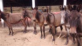 tropa de burro e mula para amançar