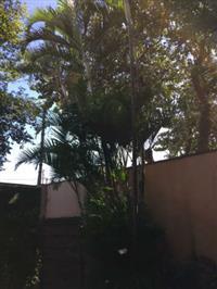 Areca Adulta (6 metros de altura)