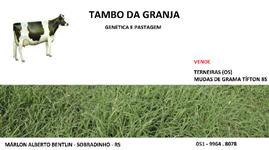 MUDAS DE GRAMA TIFTON 85 EM BANDEJAS DE 200 UN