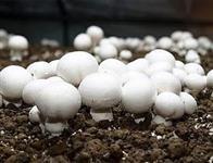Cogumelo Champignon de Paris