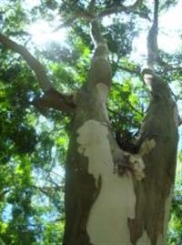 PAU FERRO – Caesalpinia leiostachya