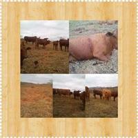Vaca Senepol