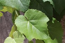 Folhas de Uva