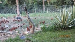 Ovos caipira colhidos na semana