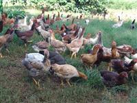 Ovos e frangos caipiras