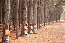 Florestas com Pinus Elliotti para Arrendamento