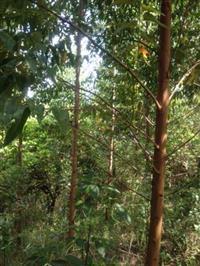 fazenda de eucalipto