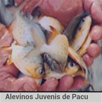 Juvenis de Pacu,Matrinxã e Piapara
