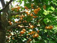Frutiferas (Ja Produzindo )