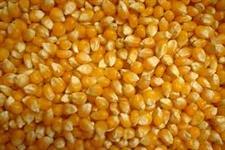 temos milho em graos e enviamos para todo brasil