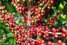 Fazenda de caf�
