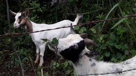 mini cabra