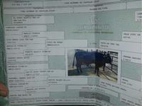 touro girolando 5/8 registrado