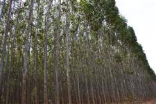 Venda de Eucalipto Madeira e Biomassa